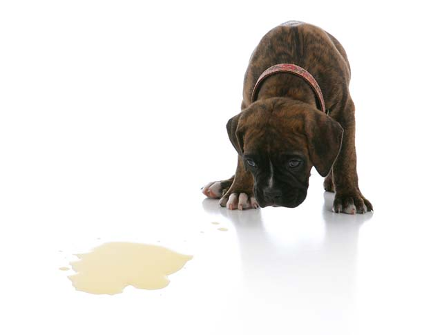 The Easy Way to Potty Train Your Puppy