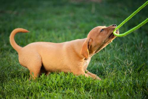 how to teach your dog to play tug of war