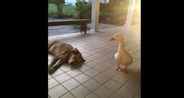 Grieving Pup Finds Solace in Little Duck Who Came From Nowhere