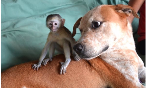 Adorable Pup Rescued From Death Row, Now Comforts Orphaned Chimpanzee's