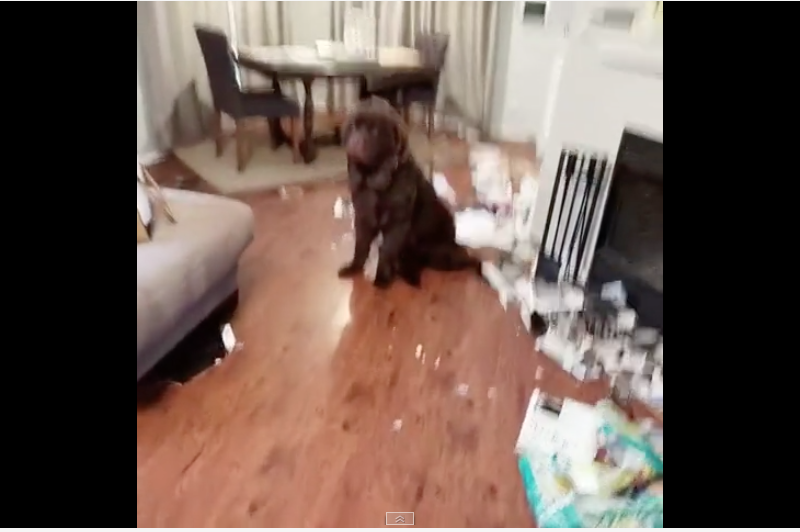 Watch: Adorable Newfoundland Pup Makes a Mess to Get Mom's Attention