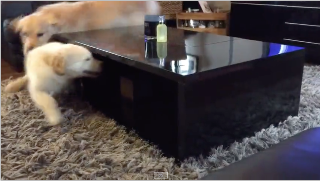 Golden Retriever Outsmarts His Brother in a Game of Hide and Seek